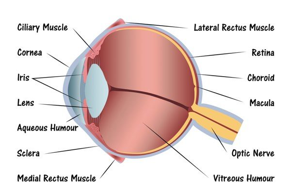 Eye from side diagram
